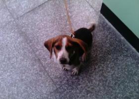 寻狗启示,寻找六个月米格鲁猎兔犬,它是一只非常可爱的宠物狗狗,希望它早日回家,不要变成流浪狗。