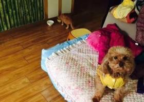 寻狗启示,8岁爱犬毛毛走丢求找回,它是一只非常可爱的宠物狗狗,希望它早日回家,不要变成流浪狗。