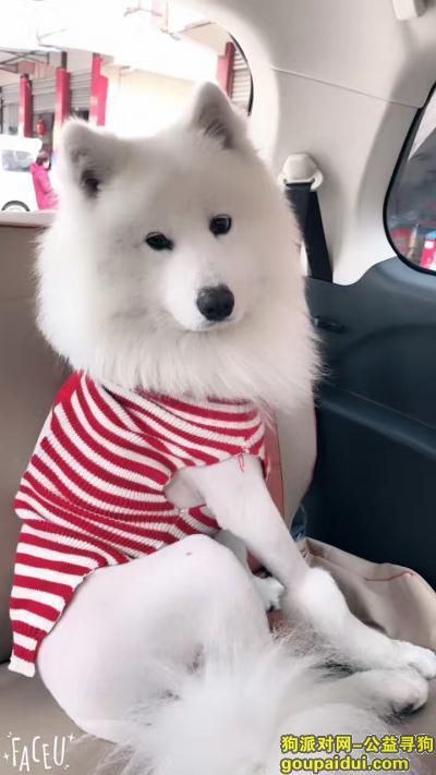 ,萨摩耶 于2017年4月2日 在陕西省汉中市汉台区铺镇东菜集,它是一只非常可爱的宠物狗狗,希望它早日回家,不要变成流浪狗。