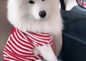 寻狗启示,萨摩耶 于2017年4月2日 在陕西省汉中市汉台区铺镇东菜集,它是一只非常可爱的宠物狗狗,希望它早日回家,不要变成流浪狗。