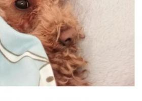 寻狗启示,4岁玩具体泰迪,乖乖快回家吧。,它是一只非常可爱的宠物狗狗,希望它早日回家,不要变成流浪狗。