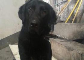 寻狗启示,今天捡到一只拉布拉多弟弟,它是一只非常可爱的宠物狗狗,希望它早日回家,不要变成流浪狗。
