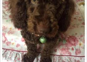 寻狗启示,荆州沙市寻巧克力色泰迪,它是一只非常可爱的宠物狗狗,希望它早日回家,不要变成流浪狗。