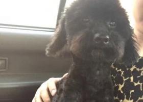 寻狗启示,黑色公泰迪,忘好心人帮帮忙,必有重谢,它是一只非常可爱的宠物狗狗,希望它早日回家,不要变成流浪狗。