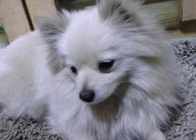 北京朝阳区健翔桥附近丢了一只白色小型博美犬 大家帮忙找下谢谢