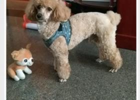 寻狗启示,望好心人帮忙寻找乐乐,它是一只非常可爱的宠物狗狗,希望它早日回家,不要变成流浪狗。