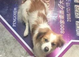 寻狗启示,寻找在莆田红星美凯龙走失的狗狗(公),它是一只非常可爱的宠物狗狗,希望它早日回家,不要变成流浪狗。