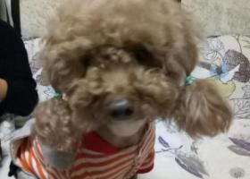 寻狗启示,泰迪狗三岁在湖滨花园走失,它是一只非常可爱的宠物狗狗,希望它早日回家,不要变成流浪狗。