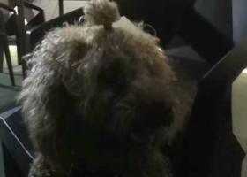寻狗启示,中山南头附近 现在寄养农民饭店,它是一只非常可爱的宠物狗狗,希望它早日回家,不要变成流浪狗。