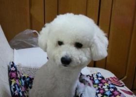 寻狗启示,寻找可爱的小比熊,小伙子,纯白色,12斤,。,它是一只非常可爱的宠物狗狗,希望它早日回家,不要变成流浪狗。