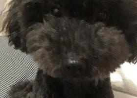 寻狗启示,江苏徐州睢宁区紫金花城酬谢一万元寻找黑泰迪,它是一只非常可爱的宠物狗狗,希望它早日回家,不要变成流浪狗。