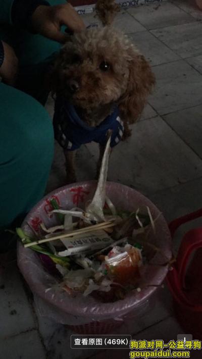 濮阳找狗主人,永安街附近捡到泰迪了,它是一只非常可爱的宠物狗狗,希望它早日回家,不要变成流浪狗。