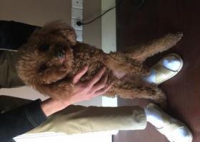 寻狗启示,在杭州下城区东新路与德胜路交叉口捡到棕色泰迪公狗一只。,它是一只非常可爱的宠物狗狗,希望它早日回家,不要变成流浪狗。
