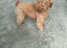 寻狗启示,临沂市郯城县人民路丢失一只棕色泰迪,它是一只非常可爱的宠物狗狗,希望它早日回家,不要变成流浪狗。