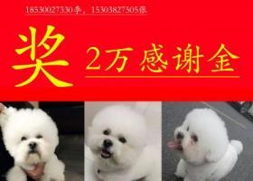 奖2万感谢金,寻找爱犬比熊苹果,茫茫大郑州,望大爱无疆