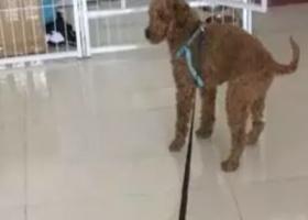 寻狗启示,一岁棕色公没有断尾的泰迪,它是一只非常可爱的宠物狗狗,希望它早日回家,不要变成流浪狗。