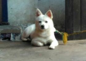寻狗启示,狗狗丢了,2017年4月在泸县,绳子没套好,跑了,它是一只非常可爱的宠物狗狗,希望它早日回家,不要变成流浪狗。