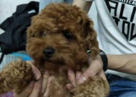 寻狗启示,在汕头凤凰城捡到泰迪母狗一只,它是一只非常可爱的宠物狗狗,希望它早日回家,不要变成流浪狗。