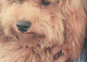 寻狗启示,寻狗启示 狗狗名叫蛋蛋 棕色泰迪犬 丢失于金沙小区 看到的朋友帮忙转发一下 联系电话18591231319(拾到者,必有重谢),它是一只非常可爱的宠物狗狗,希望它早日回家,不要变成流浪狗。