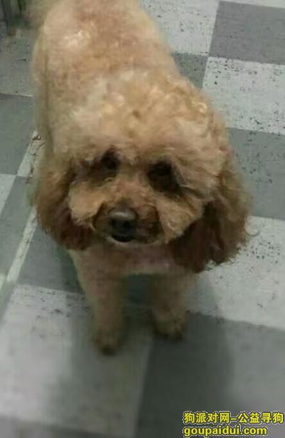 【巢湖找狗】,大泰迪于4月17日丢失 主人很急!!!,它是一只非常可爱的宠物狗狗,希望它早日回家,不要变成流浪狗。