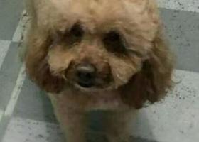 寻狗启示,大泰迪于4月17日丢失 主人很急!!!,它是一只非常可爱的宠物狗狗,希望它早日回家,不要变成流浪狗。