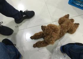 寻狗启示,这是谁家的狗、泰迪犬,它是一只非常可爱的宠物狗狗,希望它早日回家,不要变成流浪狗。