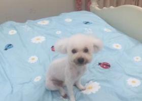 寻狗启示,福建厦门于4.19丢失一只白色光毛比熊,它是一只非常可爱的宠物狗狗,希望它早日回家,不要变成流浪狗。