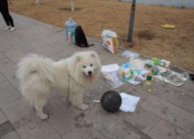 寻狗启示,邯郸市 武安马家庄乡刘家庄村酬谢三千元寻找萨摩,它是一只非常可爱的宠物狗狗,希望它早日回家,不要变成流浪狗。