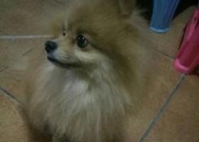 寻狗启示,24日晚捡到一只博美犬,它是一只非常可爱的宠物狗狗,希望它早日回家,不要变成流浪狗。