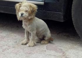 寻狗启示,24日捡到狮子狗一只,招领,它是一只非常可爱的宠物狗狗,希望它早日回家,不要变成流浪狗。