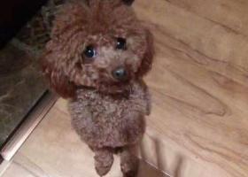 寻狗启示,晋城寻找泰迪狗多多,于4.23早白水印象西门口附近丢失,它是一只非常可爱的宠物狗狗,希望它早日回家,不要变成流浪狗。