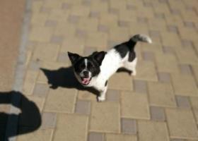 复兴公园捡到一只黑白花小公狗