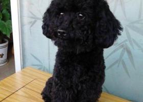 5000元寻找丢失黑色泰迪犬