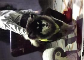 寻狗启示,2岁半阿拉斯加2天前在海宁市袁花派出所河对面的那条路上走丢了,很护食,它是一只非常可爱的宠物狗狗,希望它早日回家,不要变成流浪狗。