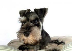 寻狗启示,2017年4月26日晚九时左右在山花大厦附近丢失养了十年的雪纳瑞,它是一只非常可爱的宠物狗狗,希望它早日回家,不要变成流浪狗。