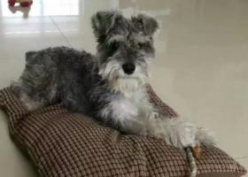 寻狗启示,我家的小五(雪纳瑞)4.27日早上7点在安兴北区南门丢了。,它是一只非常可爱的宠物狗狗,希望它早日回家,不要变成流浪狗。