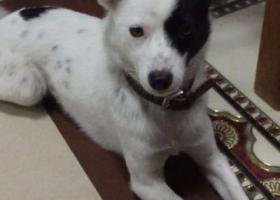 寻狗启示,南通启东市王鲍镇元北八路酬谢一千元寻找草狗,它是一只非常可爱的宠物狗狗,希望它早日回家,不要变成流浪狗。