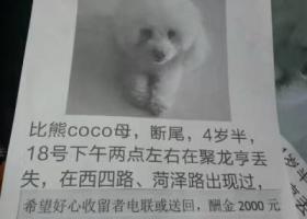 寻狗启示,在聚龙亨丢失寻找狗狗贵宾狗coco 白色 母犬 四岁半,它是一只非常可爱的宠物狗狗,希望它早日回家,不要变成流浪狗。