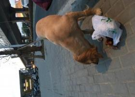 寻狗启示,苏州金枫路地铁口1号出口,看到一只走丢金毛刚剃过毛没多久,它是一只非常可爱的宠物狗狗,希望它早日回家,不要变成流浪狗。