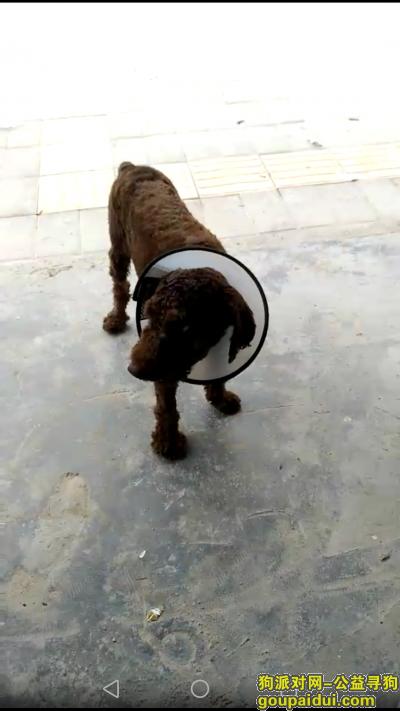 【深圳捡到狗】,深圳杨美捡到深咖啡色泰迪,它是一只非常可爱的宠物狗狗,希望它早日回家,不要变成流浪狗。