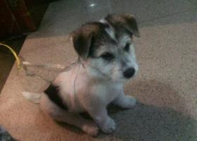 寻狗启示,厦门莲前西路捡到一只约三个月大小公狗,它是一只非常可爱的宠物狗狗,希望它早日回家,不要变成流浪狗。