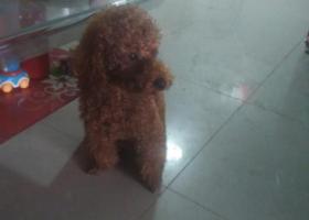 寻狗启示,捡到狗,泰迪,咖啡色,,它是一只非常可爱的宠物狗狗,希望它早日回家,不要变成流浪狗。