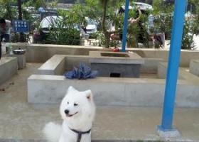 寻狗启示,寻找5月1日丢失的纯白萨摩耶,它是一只非常可爱的宠物狗狗,希望它早日回家,不要变成流浪狗。