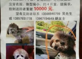 寻狗启示,金华东阳市红椿巷118号小区酬谢一万元寻找灰色泰迪,它是一只非常可爱的宠物狗狗,希望它早日回家,不要变成流浪狗。