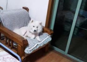 寻狗启示,请好心人把我可爱的萨摩犬的去向或消息告诉我,定有重谢!复兴宝宝,爷爷好想你,心脏病发作,它是一只非常可爱的宠物狗狗,希望它早日回家,不要变成流浪狗。