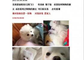 寻狗启示,义乌柳青走失一只博美,望好心人见到告知,它是一只非常可爱的宠物狗狗,希望它早日回家,不要变成流浪狗。