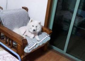 寻狗启示,心急如焚! 急寻爱犬白色萨摩 ! 祈祷好心扩散消息,尽快找回!,它是一只非常可爱的宠物狗狗,希望它早日回家,不要变成流浪狗。