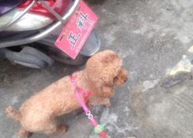 寻狗启示,陆丰东海寻找丢失的狗狗,它是一只非常可爱的宠物狗狗,希望它早日回家,不要变成流浪狗。