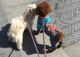 寻狗启示,江苏泰州姜堰区 寻狗 白色泰迪,它是一只非常可爱的宠物狗狗,希望它早日回家,不要变成流浪狗。