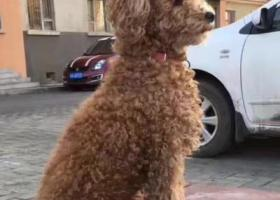 寻狗启示,乌鲁木齐火车西站14街小区酬谢一万元寻找泰迪,它是一只非常可爱的宠物狗狗,希望它早日回家,不要变成流浪狗。
